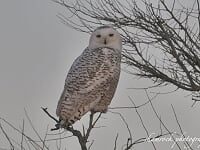 The Search for the Great Snowy Owl