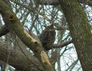 Found: The Great Horned Owl!