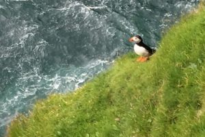 The Pursuit of the Puffin